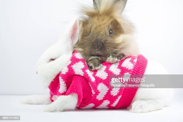 Two dwarf rabbits in love with a wool sweater coat for the cold