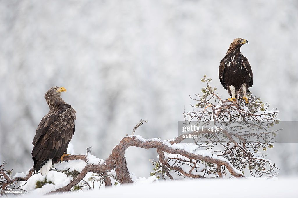 Two eagles in the wild
