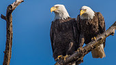 Two eagles mating pair on a branch