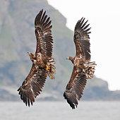 Eagles couple close-up. Andoya, Norway.