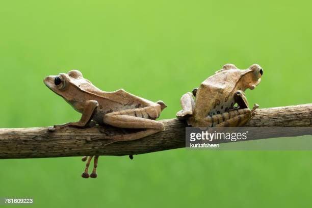 Two Eared tree frogs, Indonesia