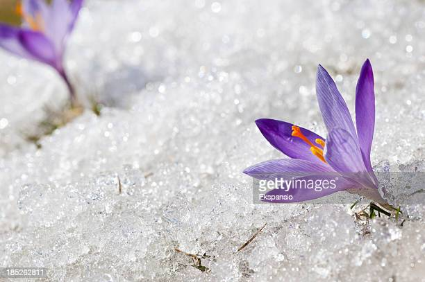 Two Early Spring Crocuses in Thawing Snow and Ice