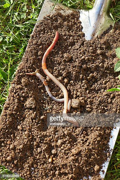 Two earthworms on spade with soil