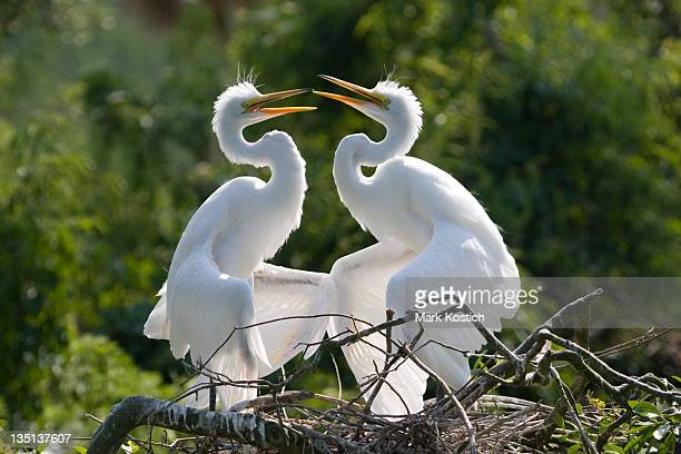 Two Egrets in Display.