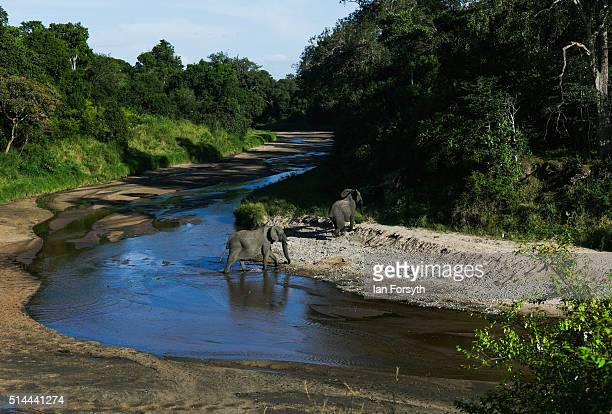 Two elephants cross the Mara River inside the Maasai Mara National Reserve on February 28 2016 in Talek Kenya The east African country covers around...