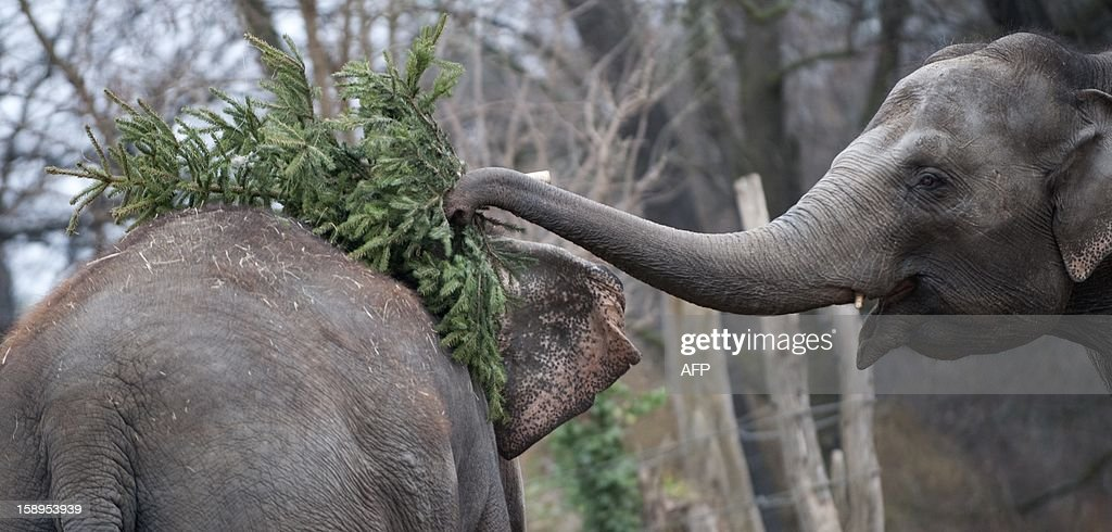 Two elephants play with Christmas trees on January 4, 2013 at the Zoologischer Garten zoo in Berlin. Traditionally, elephants at the Berlin zoo are given for food the trees that were left over from Christmas tree sale during the first days of January.