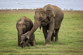 Adult, baby, and adolescent Sri Lankan elephant on grass near water.
