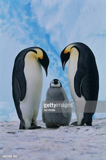 Two emperor penguins (Aptenodytes forsteri) beside chick, Antarctica