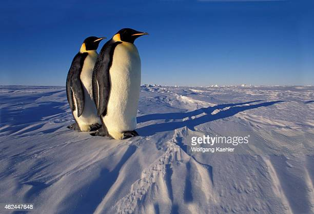 Two Emperor penguins standing on fast ice near the Atka Iceport at the Ekstrom Ice Shelf on the coast of Queen Maud Land in Antarctica