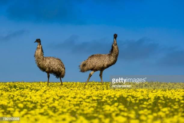 Two emus standing in a canola field, Port Lincoln, South Australia, Australia
