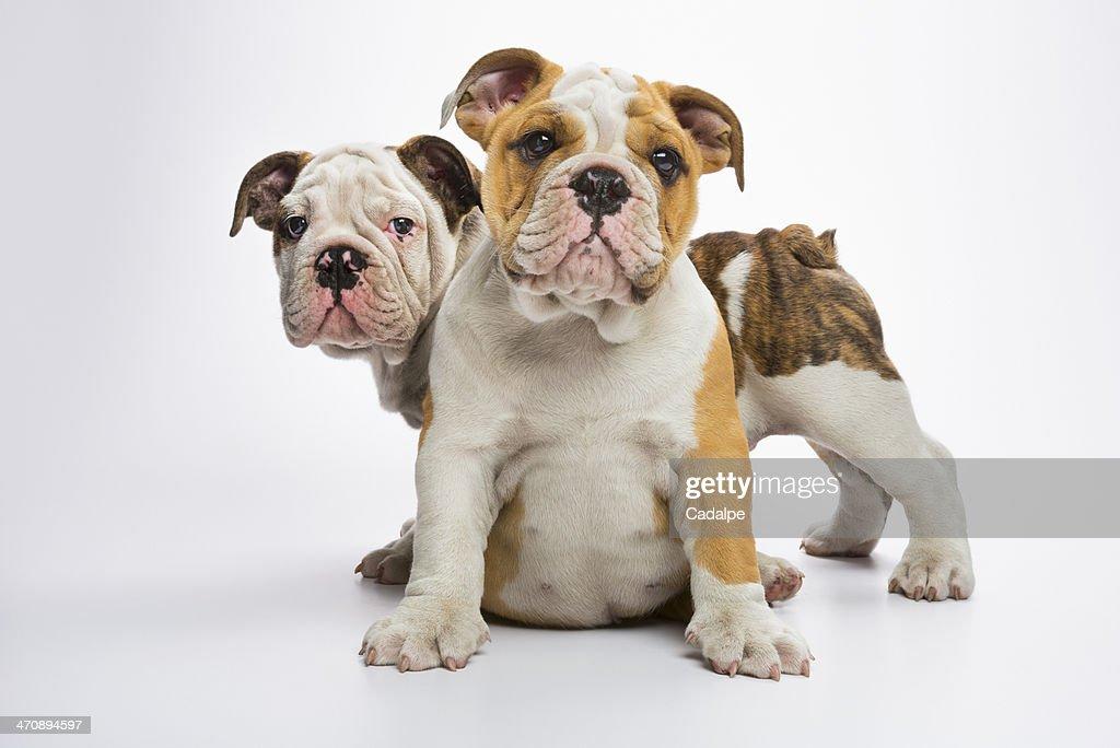 Two English Bulldog puppies