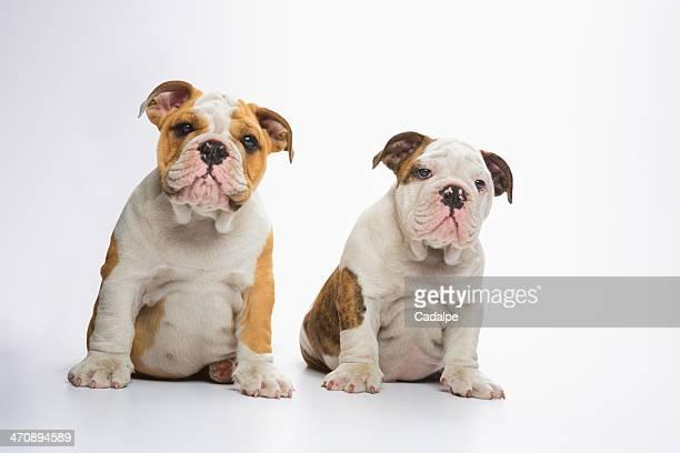 Two English Bulldog puppies sitting