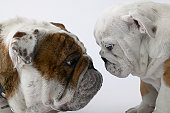 Two English Bulldogs face to face in studio, close-up