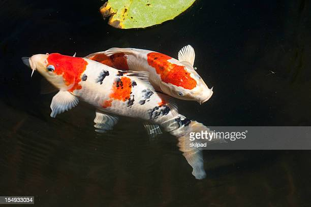 Two entwined koi fish in a dark pond