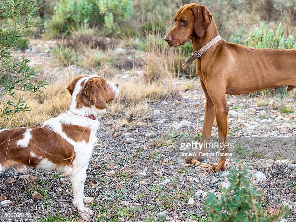 Two faced face-to-face pedigree dogs. Race (Epagneul Breton and Braco Húngaro)