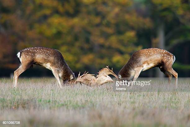Two Fallow deer bucks fighting in grassland during the rutting season in autumn