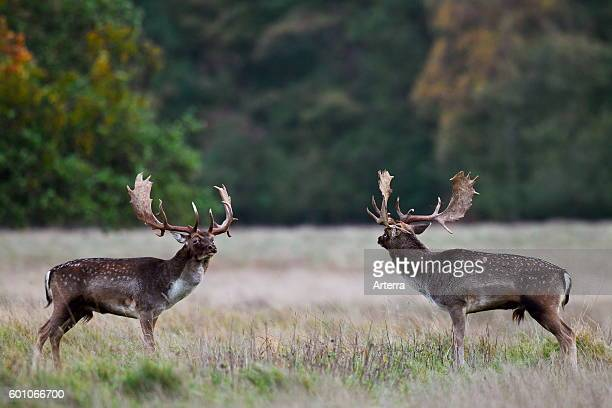 Two Fallow deer bucks sizing each other up before fighting during the rutting season in autumn