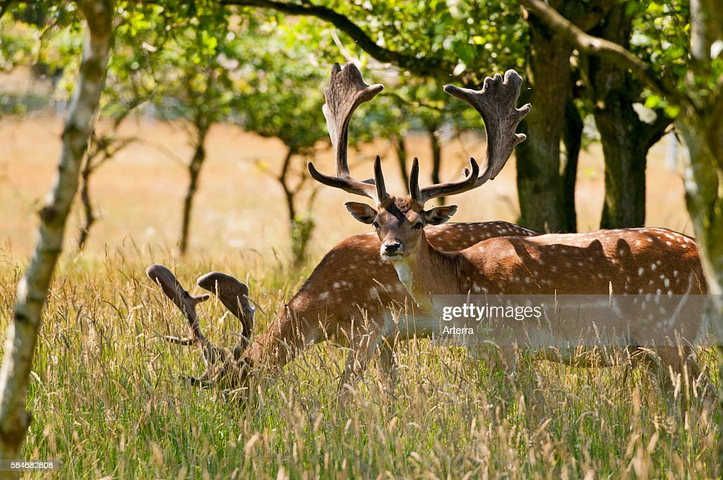Two Fallow deer bucks with antlers covered in velvet in summer