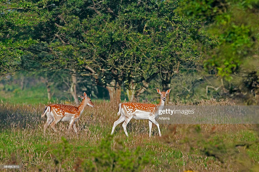 Two Fallow deer does in forest in summer