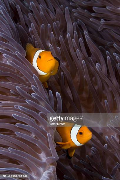 Two False Clown Anemonefish (Amphiprion ocellaris) peering out from Sea Anemone
