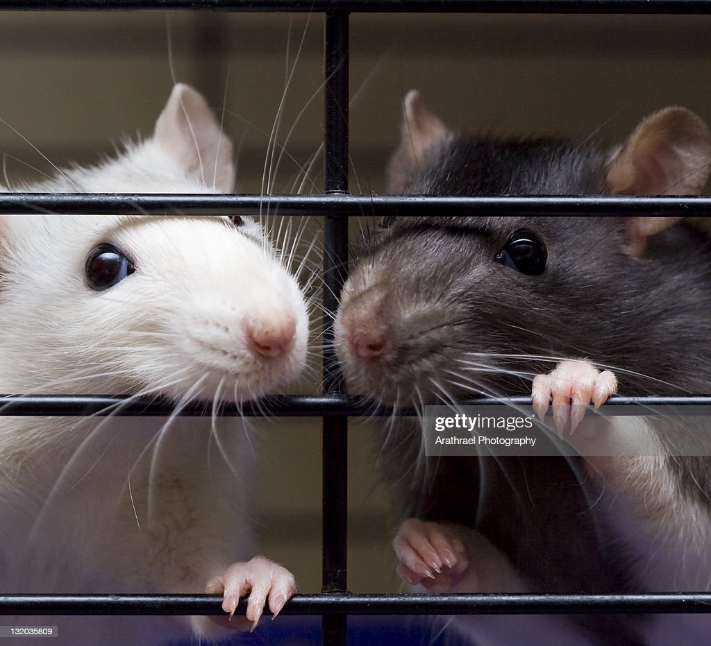 Two fancy rats looking through cage bars