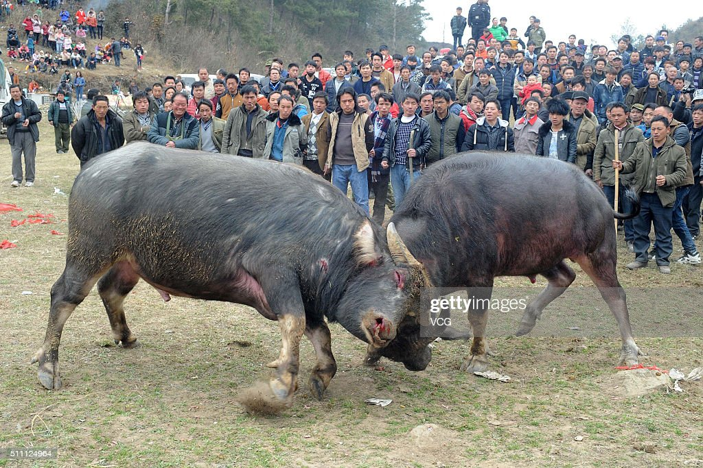 Qiannan China  city photos : ... Qiannan of Guizhou Province of China. Villagers held a farm cattle