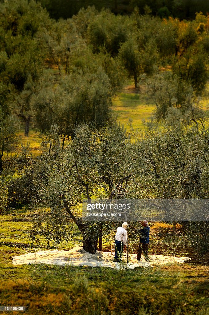 two farmer harvesting olive in tuscany : Stock Photo