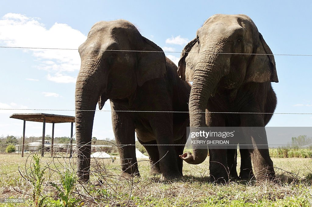 Two female Asian elephants at the Ringling Bros. Center for Elephant Conservation in Polk City, Florida, are seen March 8, 2016, where the circus remaining 11 pachyderm performers will retire this week, for good. / AFP / Kerry SHERIDAN / TO GO WITH AFP STORY BY KERRY SHERIDAN-'Circus elephants' retirement home promises pampered life '