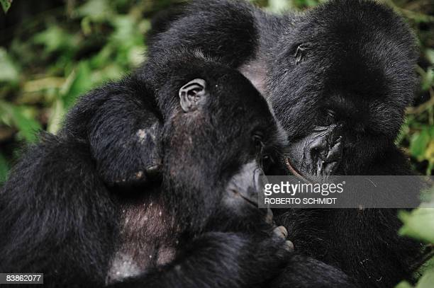 Two female gorillas embrace in a clearing on the slopes of Mount Mikeno in the Virunga National Park on November 28 2008 The park is home to 200 of...