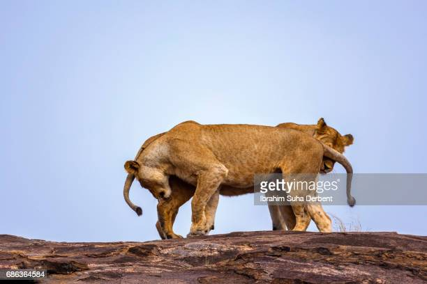 Two female lions are necking
