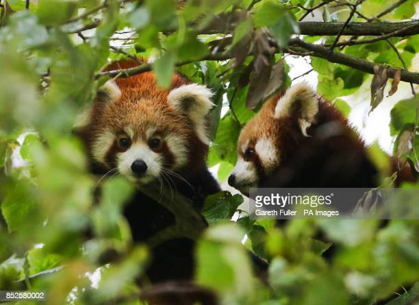Two female Red Panda cubs in their enclosure at Port Lympne Wild Animal Park near Ashford Kent as they make their public debut following the recent...