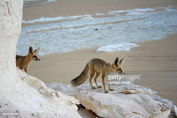 Two fennecs hunting in the White Desert