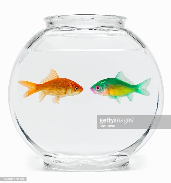 Two fish face to face in fishbowl, side view (Digital Enhancement)