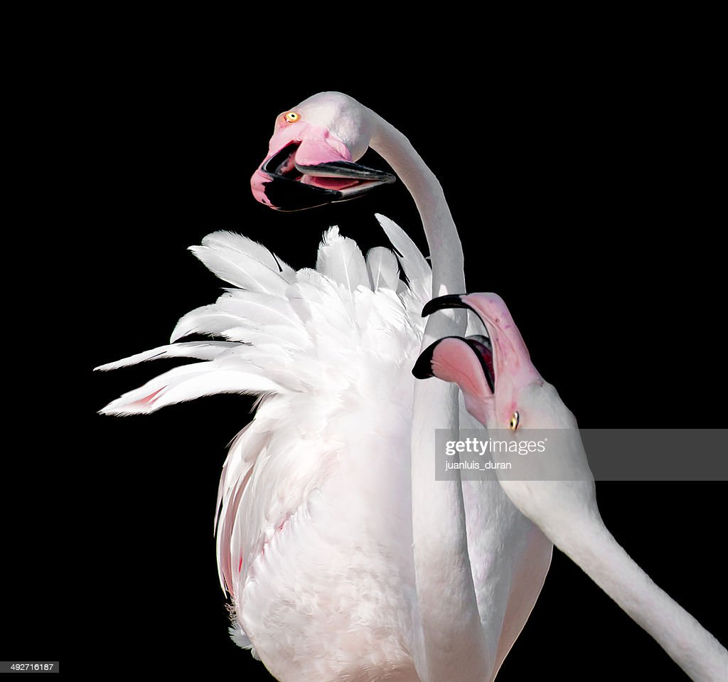 Two flamingoes (Phoenicopteridae) against black background : Stock Photo