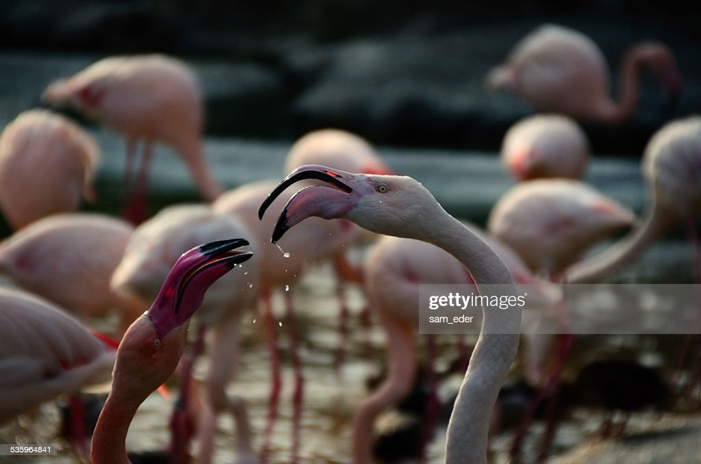two flamingos with drops of water : Stock Photo