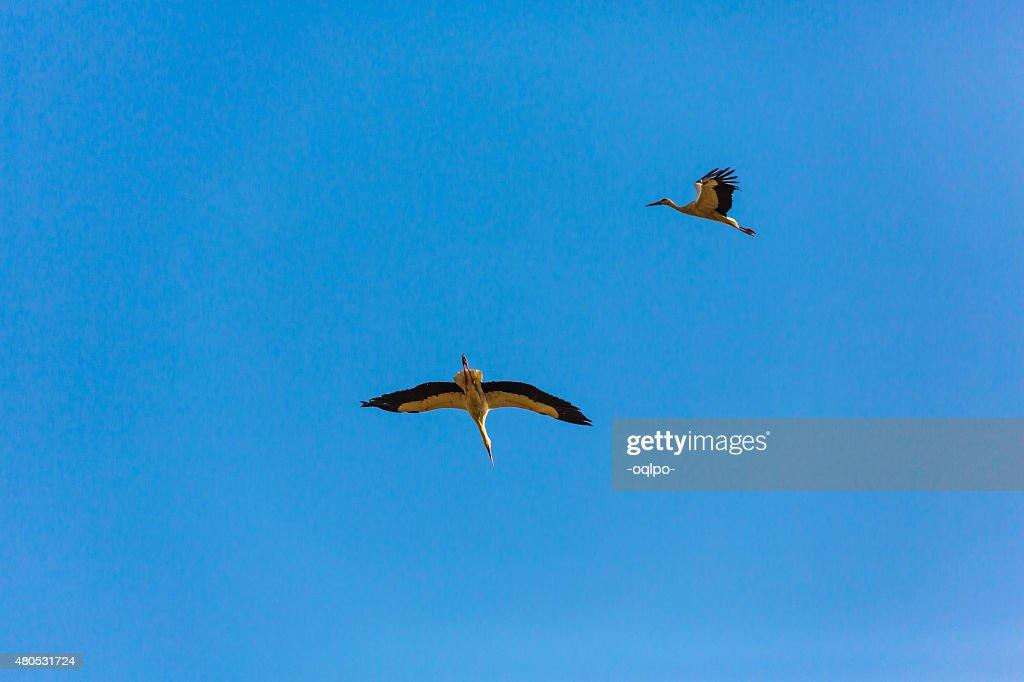Two flying stork : Stock Photo