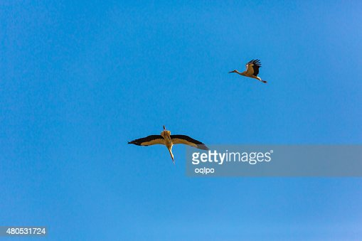 Two flying stork : Stock Photo