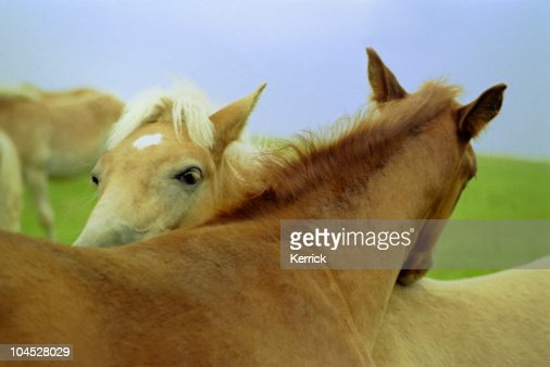 two foals on pasture