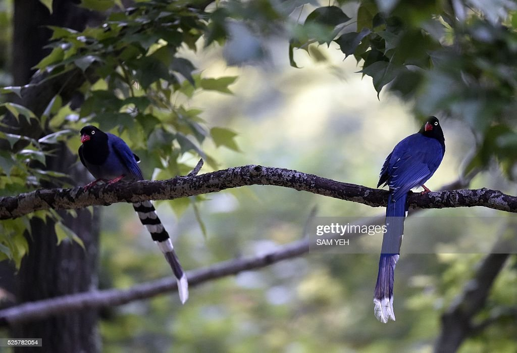 Two Formosan blue magpies sit on a tree at a local park in Taipei on April 29, 2016. The Taiwan blue magpie, also called the Taiwan magpie, Formosan blue magpie or the 'long-tailed mountain lady', is a member of the crow family. It is an endemic species living in the mountains of Taiwan at elevations of 300 to 1200 metres. / AFP / SAM YEH