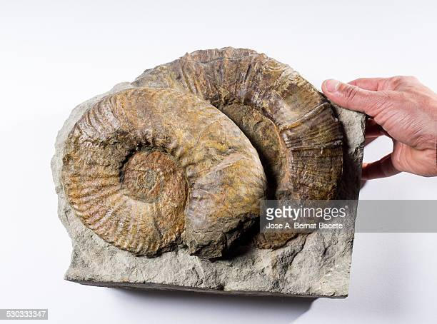 Two fossil ammonite shells on white background