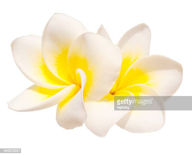 Two frangipani flowers