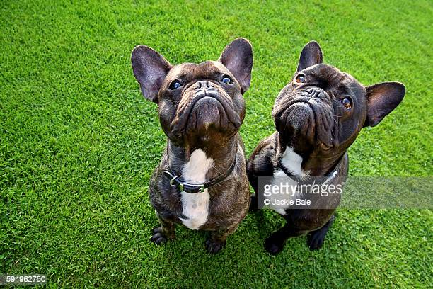 Two French bulldogs, wide angle