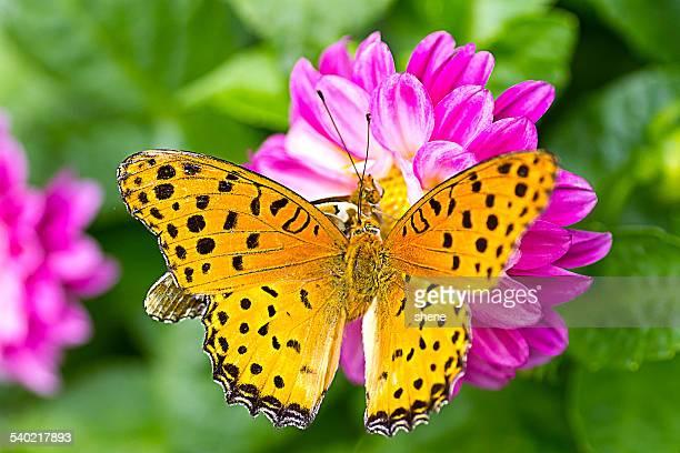Two Fritillary Butterflies