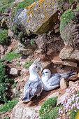 Two fulmars on rocks in Saltee Islands. Ireland. Close view.