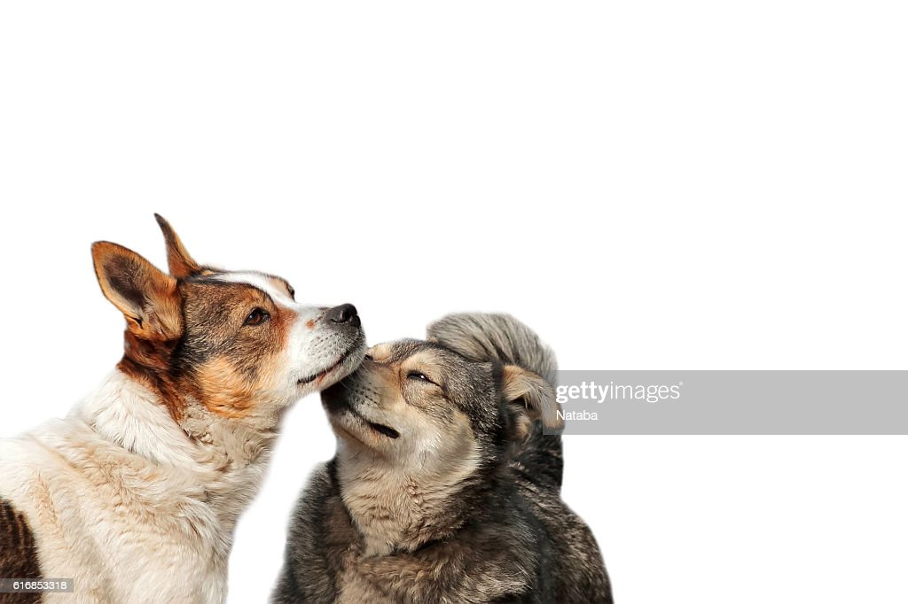 two funny dog cuddling and fooling around noses on white : Stock Photo