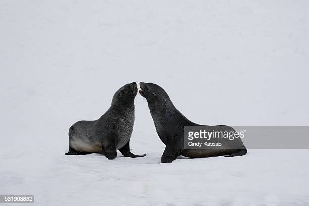 Two Fur Seals on the Snow in Larsen Harbour, South Georgia Island