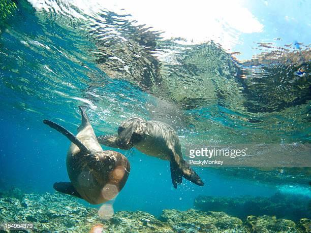 2 つのガラパゴスシーライオン一緒に楽しい水中