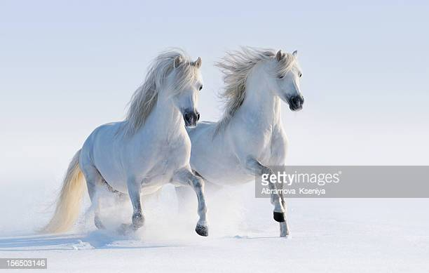 Galloping white horses on snow field