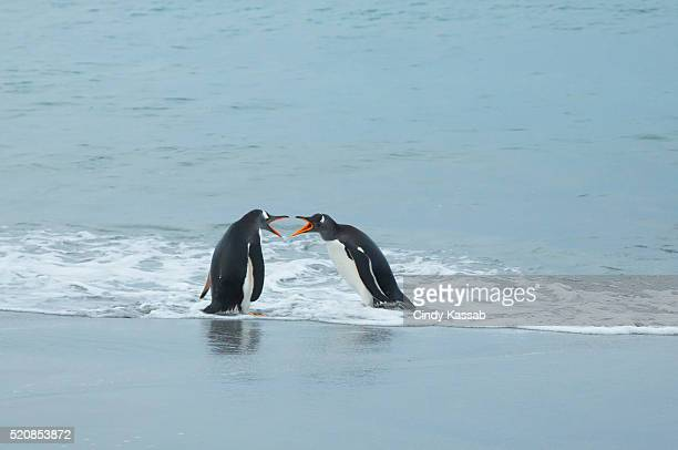 Two Gentoo Penguin Interact with Each Other