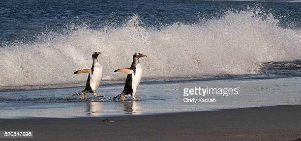 Two Gentoo Penguins Walking Along the Seashore in the Falklands